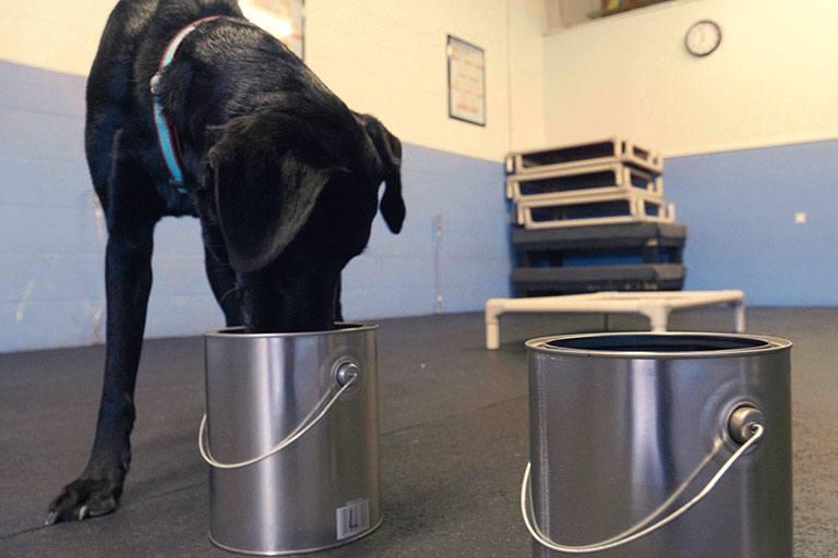 Dog smells a urine sample inside a can.
